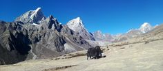 https://flic.kr/p/QtQrkJ | Yak in Everest base camp trekking trail