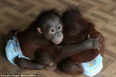 Just catching some chimpan-zzzees: Adorable baby orangutan takes a well earned nap with his favourite teddy bear | Mail Online
