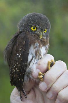 Amazonian Pygmy Owl Glaucidium hardyi - Google Search