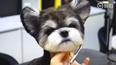 dog stuff,dog ideas,dog care,dog tips,dog grooming Shorkie Puppies, Yorkies, Biewer Yorkie, Mini Schnauzer Puppies, Yorkie Puppy, Dachshund Puppies, Cute Dogs And Puppies, Cute Little Puppies, Teacup Morkie