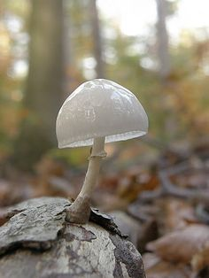 Porcelain fungus | Project Noah