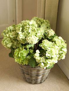 Green Silk Hydrangea