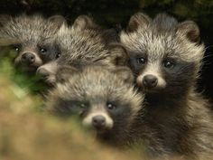 Real Animals That You Didn't Know Existed - Raccoon Dog