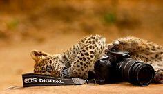 a2015-4-5leopard.jpg