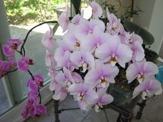 How to water and fertilize orchids in order to get them to rebloom quickly. One of mine hasn't bloomed in nineteen months! Outdoor Plants, Garden Plants, House Plants, Growing Orchids, Growing Plants, Orchid Plants, Orchid Care, Plant Care, Dream Garden