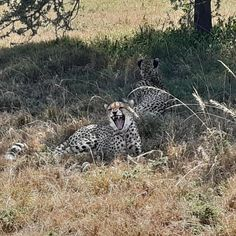 Spotted near our headquarter this morning are these beautiful Cheetahs. Seeing how relaxed they are is pure bliss for us at The Maa Trust. #marafact, #Cheetahs are the fastest land animal in the world. __________________________________________________ #didyouknow, #funfact #wildanimals, #cheetah #wildlife #africa #animals #wildlifephotography #bigcats #nature #cheetahprint #cheetahs #photography #safari #wild #endangeredspecies #africanwildlife #themaatrust #marafact #MaasaiMara Cheetahs, Animals Of The World, Endangered Species, Wildlife Photography, Cheetah Print, Big Cats, Bliss, Fun Facts, Safari