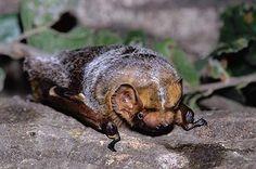 Northern yellow bat (Lasiurus intermedius)