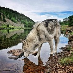 One Lucky Pup: Meet the Wolfdog That Has Gone on the Most Amazing Adventures