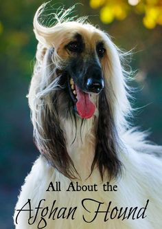 Check out everything you need to know about the Afghan Hound, one of our favorite large hypoallergenic dog breeds!