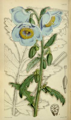 Meconopsis paniculata - circa 1852