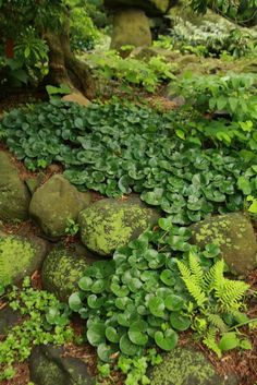 "Everyone loves this carefree, evergreen groundcover. Handsome, 3"""" rounded…"