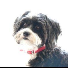 Luna - chinese crested powderpuff... Beautiful dog!