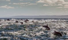 Hundreds of dolphins churn the sea water in Port Elizabeth, South Africa, as they hunt fish. Pods of up to a thousand common dolphins are common from February to June during fish hunts.   Photograph: Rainer Schimpf/Barcroft Media