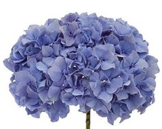 http://milagrawholesaleflowers.com/images/Kuhnert_blue_hydrangea_wholesale_flowers.jpg