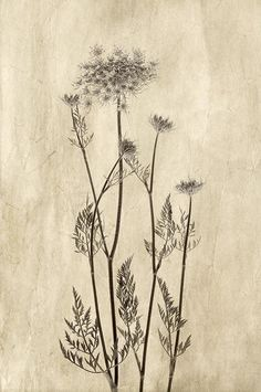 Queen Anne's Lace In Sepia Art Print by Jolanta Zychlinska. All prints are professionally printed, packaged, and shipped within 3 - 4 business days. Choose from multiple sizes and hundreds of frame and mat options. Botanical Line Drawing, Botanical Drawings, Botanical Illustration, Botanical Prints, Lace Painting, Garden Painting, Art Beauté, Garden Tattoos, Lace Tattoo