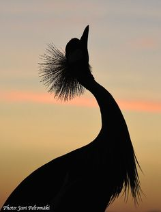 Grey Crowned Crane (Balearica regulorum) 15.9.2014 Lake Baringo - Kenya