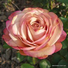 http://www.kordes-rosen.com/outdoor-cutroses/novelties/freilandschnittrose-tabaluga-freelander