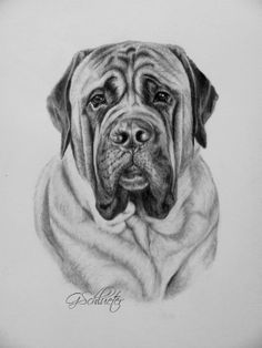 """The #Mastiff sketch by #pet portrait artist Genevieve Schleuter. Hand drawn in pencil 8x10"""" size #donated to a #NonProfitOrg. Prints can be purchased unpon req. http://www.gensart.net"""