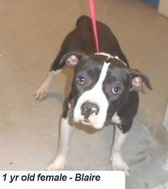 SAVE BLAIRE extend BLAIRE's Life donate to SHELTER FRIEND with a note SAVE BLAIRE llocated in Elizabethtown, NC has 3 days Left to Live. Adopt him now!