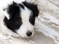 border collie dog photo | border collie | PuppyDogPalace