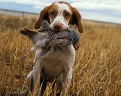 best hunting dogs - Buscar con Google