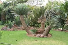 Never Say Die - Cycad World of innovations Home Garden Design, Home And Garden, Living Fossil, Exotic Plants, Afrikaans, Beautiful Landscapes, Botanical Gardens, Garden Landscaping, South Africa