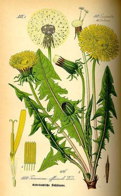 pernicious weed I just can't quite get out of my ❤️ Gemeiner Löwenzahn (Taraxacum officinale) Vintage Botanical Prints, Botanical Drawings, Botanical Art, Nature Illustration, Botanical Illustration, Illustration Botanique Vintage, Impressions Botaniques, Flora, Medicinal Plants