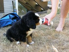 This is our Bernese Mountain Dog, Maximus on the 16th of September, 2012.  He was about 7 weeks old.  This is just after we got him.