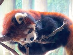 That's a precarious place to catch some Zzzzzzzzs! Red pandas sleep high up in trees on seemingly too-thin branches, helping to keep them safe from predators. (Photo courtesy of CJ Mantilla, Living Eyes Photography, taken at Houston Zoo)
