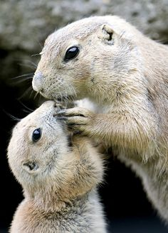 Prairie Dog Hugs baby ~  AP Photo/ Kerstin Joensson :)