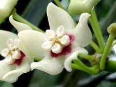 Hoya australis   Macro shot.   epiforums   Flickr