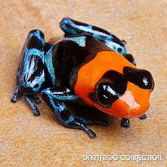 Dart Frog Connection - Benedicta Nominant Color: Red, Black, and Blue Size: Small- Reaching up to Reptiles And Amphibians, Mammals, Frosch Illustration, Animals And Pets, Cute Animals, Amazing Frog, Frog Pictures, Poison Dart Frogs, Cute Frogs
