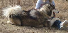 alaskan malamute puppies | ... -giant alaskan malamutes puppies for sale-alaskan malamute-texas
