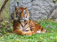 Panthera tigris sumatran subspecies - Tigre — Wikipédia