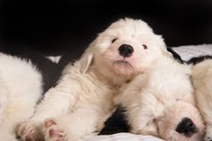 Old English Sheepdog Puppies Classifieds | Beautiful Old English Sheepdog Male Puppy For Sale
