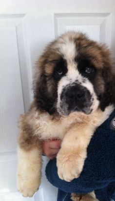 I want a similar dog with similar patience. Little Dogs, Big Dogs, I Love Dogs, Cute Dogs, St Bernard Breed, St Bernard Puppy, Chubby Puppies, Dogs And Puppies, St Bernards