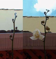 orquídea florindo