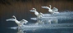 Swan Dance by Ralf Bessoth - 500px