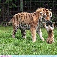 Dramatic Tiger Cub - Cheezburger
