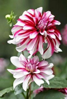 Andre Flowers Dahlia