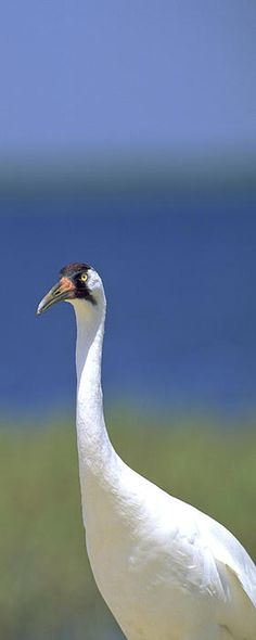 The Whooping Crane (Grus americana), the tallest North American bird, is an endangered crane species named for its whooping sound. Along with the Sandhill Crane, it is one of only two crane species found in North America./ by Patrick M. Lynch