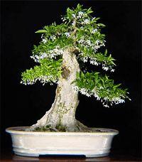 Water jasmine bonsai by Chinese Bonsai Garden