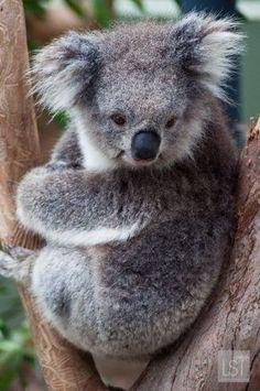 cute koalas - Google Search