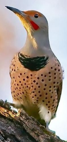 Northern Flicker Bird