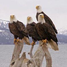 I want to go to Alaska again someday so I can see eagles like these. Homer Alaska Eagles by Sandee Rice. I saw eagles pretty regularly. Love Birds, Beautiful Birds, Animals Beautiful, Eagle Pictures, Animal Pictures, Eagle Images, The Eagles, Bald Eagles, Photo Aigle