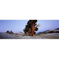 Bristlecone pine tree in Ancient Bristlecone Pine Forest White Mountains California USA Canvas Art - Panoramic Images (18 x 6)
