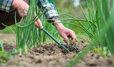 Comment connaître le pH du sol de votre jardin ? noté 4 - 2 votes Il peut être très intéressant de connaître le pH du sol de votre jardin si vous souhaitez cultiver au mieux votre terre. Certaines plantes poussent en effet de façon plus remarquable sur un sol alcalin ou sur un sol acide.... Garden Tools, Horticulture, Permaculture, Cottage Garden, Little Gardens, Vegetable Garden, Little Garden, Outdoor Gardens, Gardening Tips