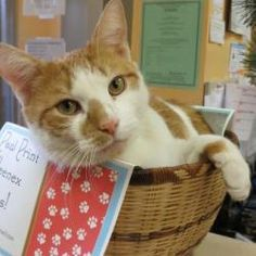 Hulio is an adoptable Tabby - Orange Cat in New Rochelle, NY. Poor Hulio. He was abandoned outside our shelter with a not from his owner stating that he is blocked and has been vomiting. Not only was ...