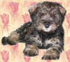 Wildwood acres schnoodle makers... My Bentley's breeder... Amazing dogs and a wonderful, caring, very conscientious breeder...  Our boy is 11 years young now...hard to believe!