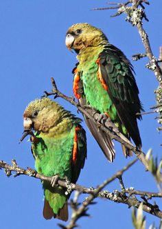 Two young Cape parrots        Poicephalus robustus           Highly  Endangered